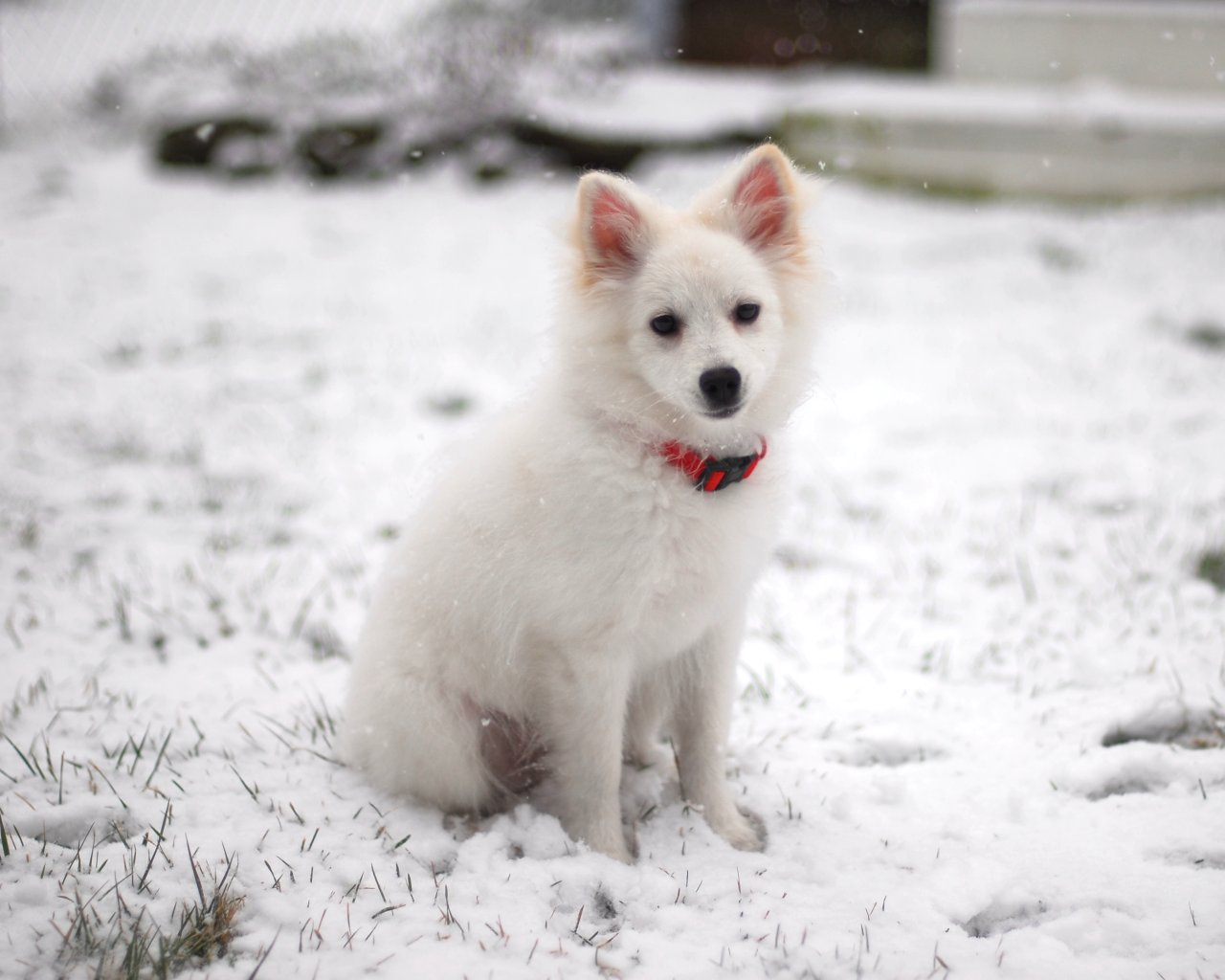 Cute Dogs Full Hd Wallpapers American Eskimo Dog Hd Wallpapers High Definition
