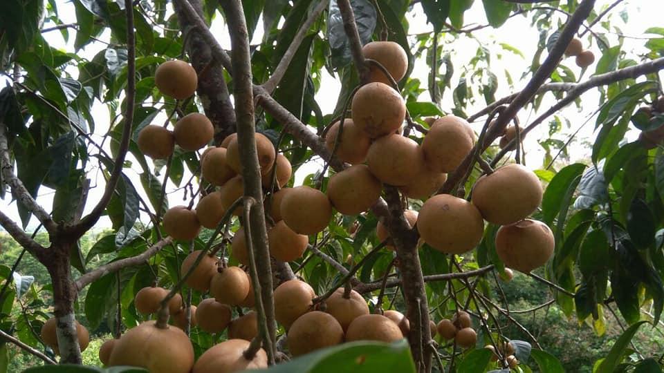buah kapul di pohon