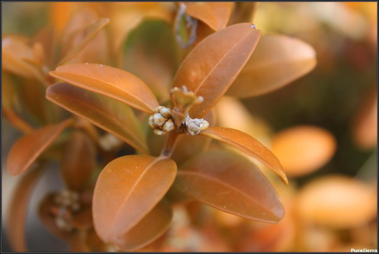 Brote de flores de boj (vista 1)