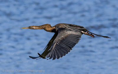 Darter in Flight over the Diep River / Table Bay Nature Reserve