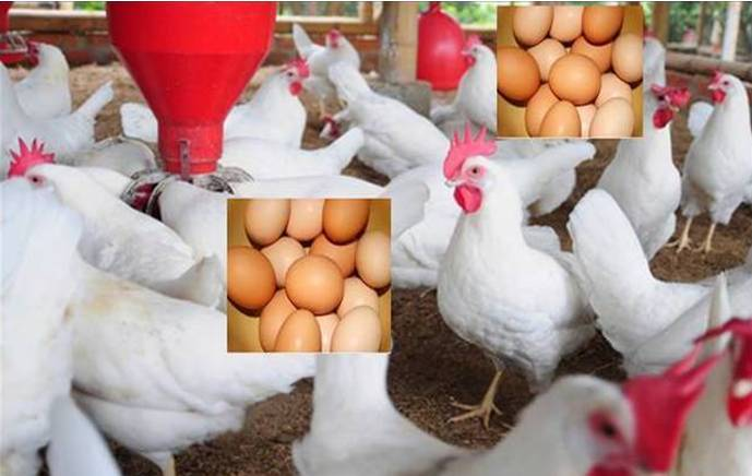 How To Start Small Scale Poultry Farm in Nigeria (Feasibility studies)