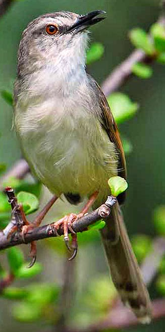 african birds Prinia