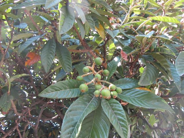 Frutti Immaturi Nespolo Giapponese
