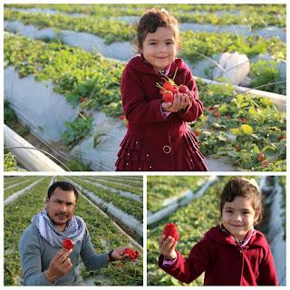 bang onim berkunjung ke perkebunan strawberry bait lahiyah gaza palestina
