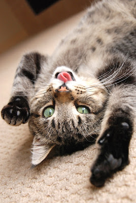 A cute tabby kitten rolling on the floor playfully