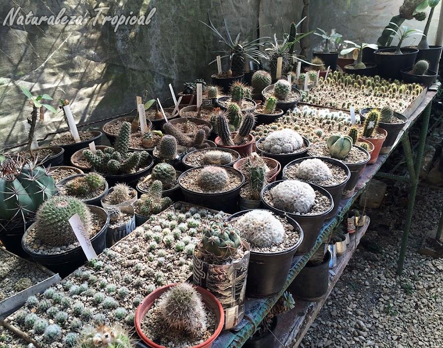 Semillero de cactus para vender en el futuro