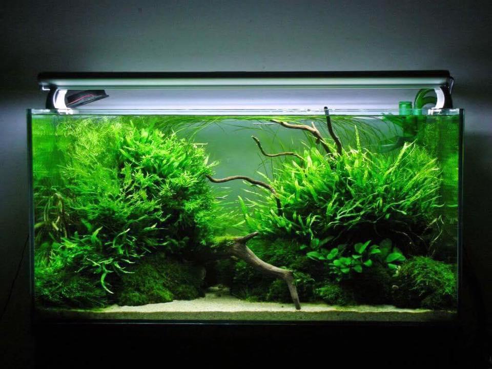 hồ thủy sinh này bạn có thể dùng cây dương xỉ lá hẹp