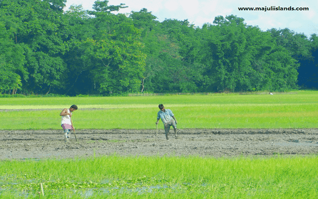 Paddy Field Of Majuli Island