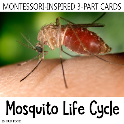Montessori-Inspired Mosquito Life Cycle 3-Part Cards // In Our Pond // homeschool // life cycle // school // summer // learning opportunity // montessori at home