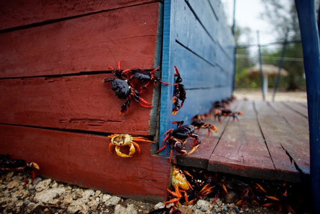 poze crabi-cuba