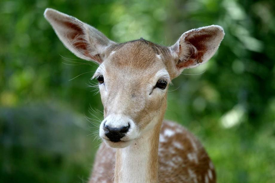 cute-baby-deer-photo-2.jpg
