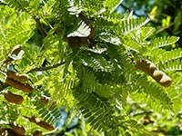 http://indonesian-herbal-medicine.blogspot.com/2014/11/tamarind-for-curing-disease.html