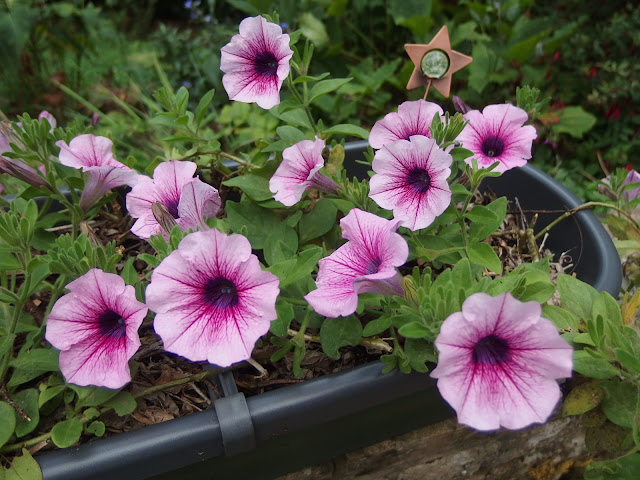 Pink petunias in a grey planter look good in the garden this year