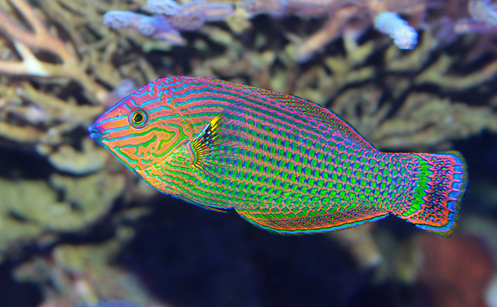 Wrasse, Ikan Unik yang Mampu Berganti-ganti Kelamin