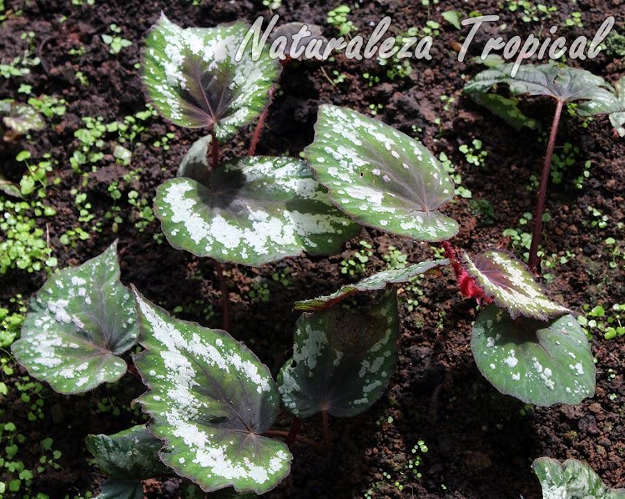 Begonia con hojas verde-claro y manchas blancas