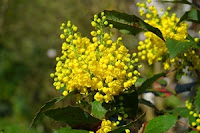 Berberis-homeopatie-in-litiaza-biliara