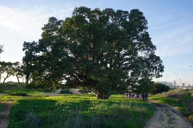 עץ שיקמה ענקי בשמורת הדיונה