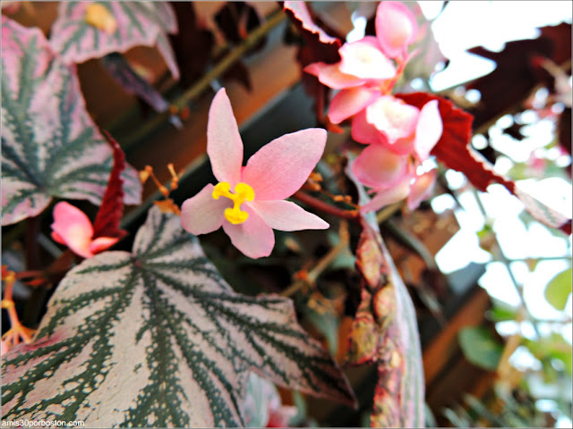 Begonias and Gesneriacea: Pink Minx