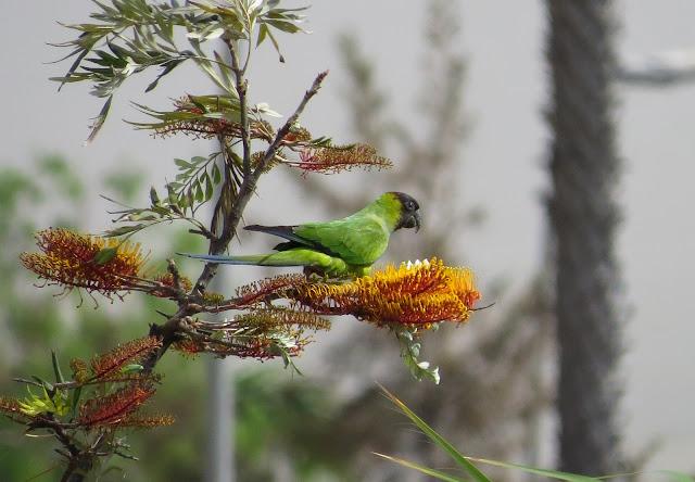 Nanday Parakeet - Playa de las Américas, Tenerife