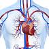Entendendo o Sistema Circulatório