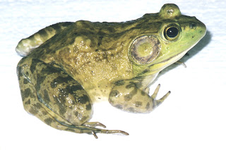 klasifikasi kodok bullfrog
