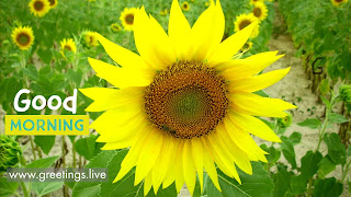 Sun flowers Happy Good Morning greetings live