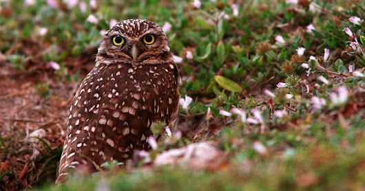 Florida's Burrowing Owls