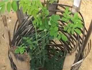 أوراق شجرة المورينجا