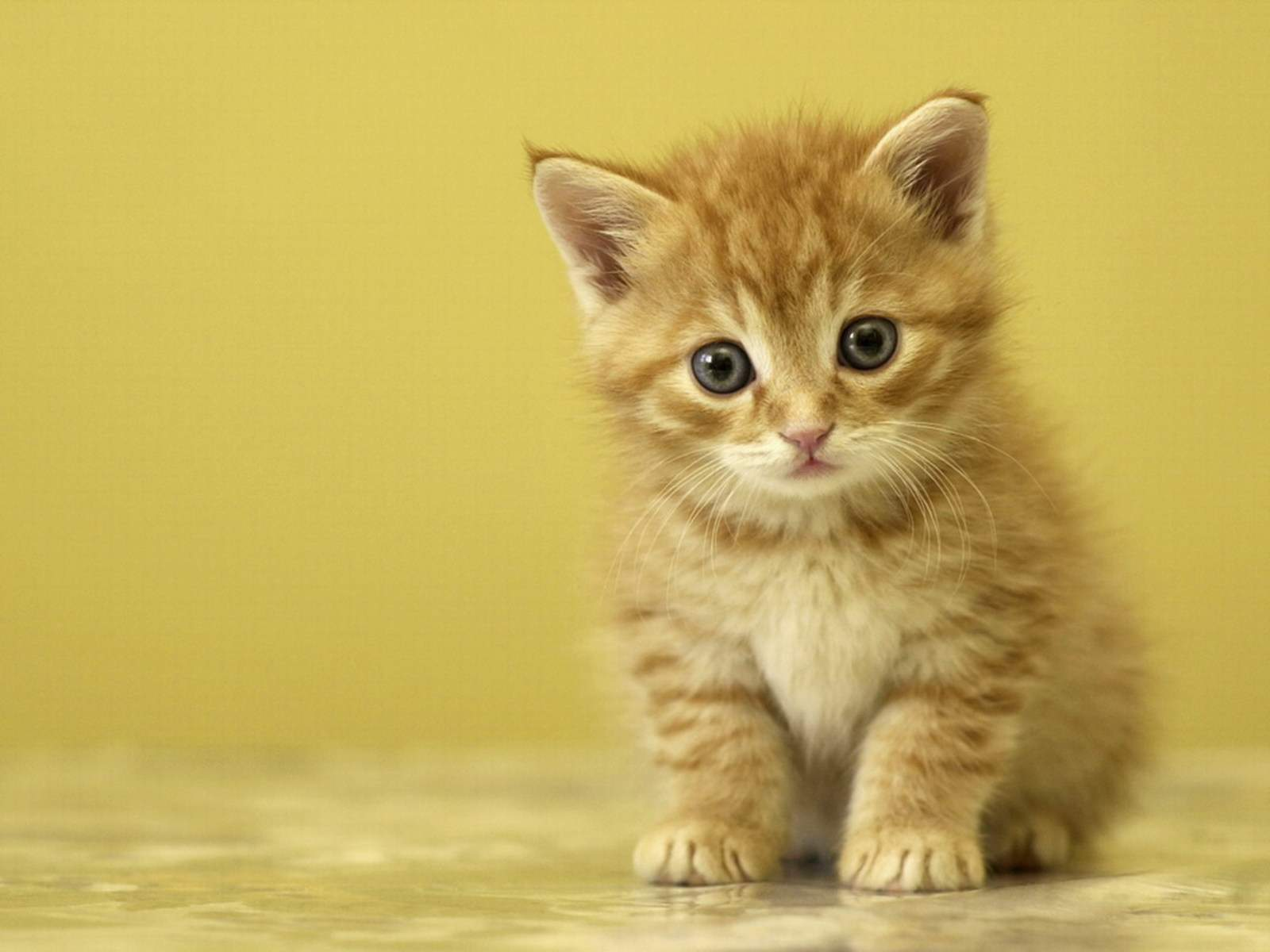Background Kucing Comel Kucingcomel Com