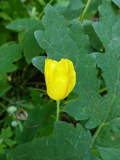 Stylophore à deux feuilles - Stylophorum diphyllum