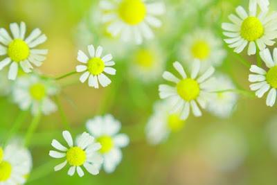 写真 「ヒナギクの花」