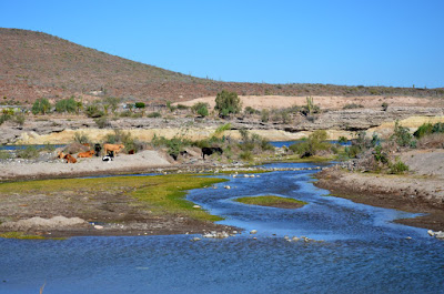 Cattle grassing along the river
