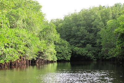 Hutan Mangrove dan Fungsinya Bagi Lingkungan