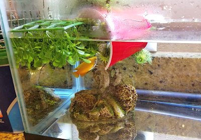 honey gourami bubble nest site using floating plants and plastic cup