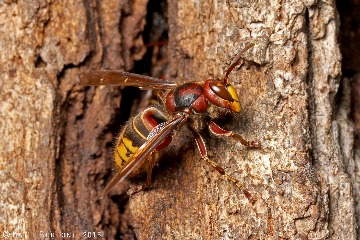 NCSU PDIC: Are Asian or Japanese giant hornets in North ...
