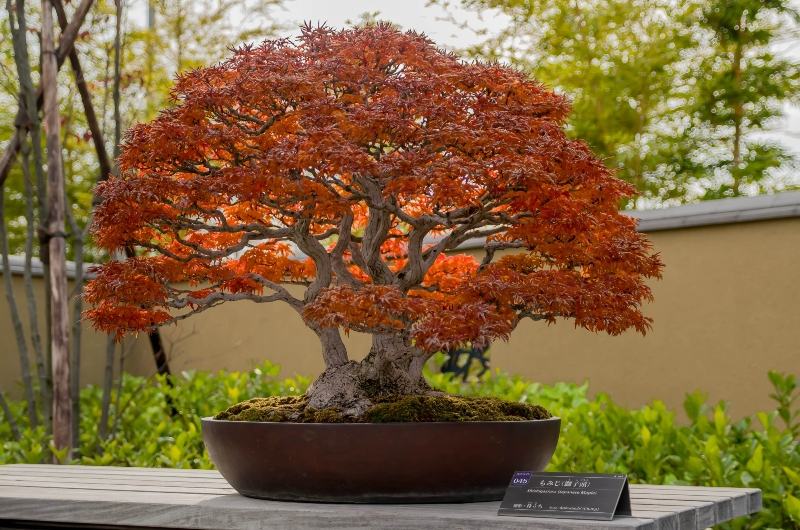 Beautiful piece of art Bonsai in autumn on display