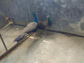 Burung Merak Biru Dewasa