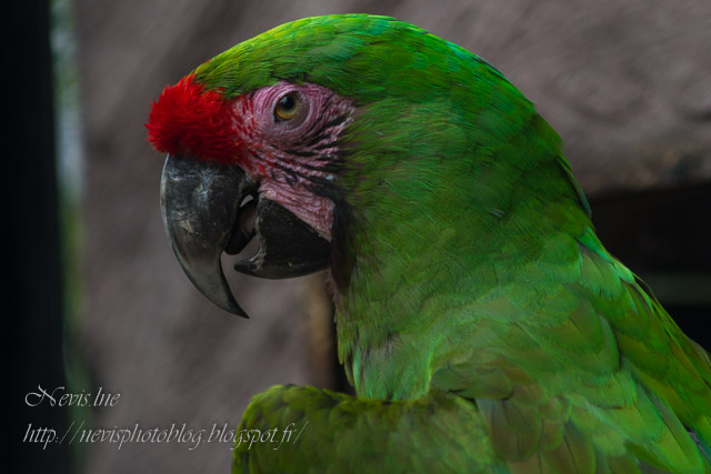 Perroquet vert zoo Fitilieu Isere