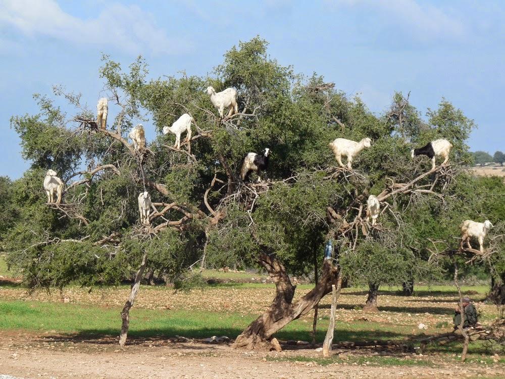 Ziegen In Bäumen