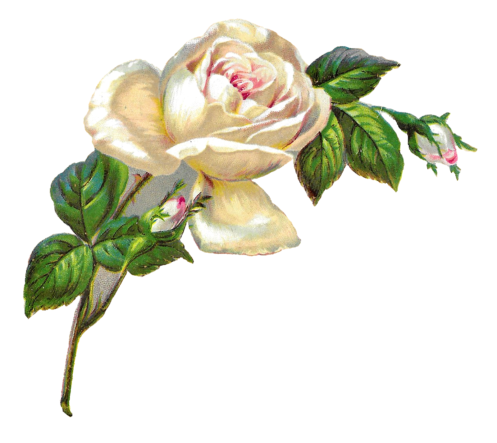Antique Images White Rose Shabby Chic Flower Image Clip Art