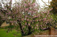 Porzeczka krwista- Ribes sanguineum