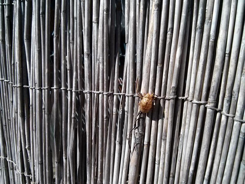庭にセミの抜け殻を発見