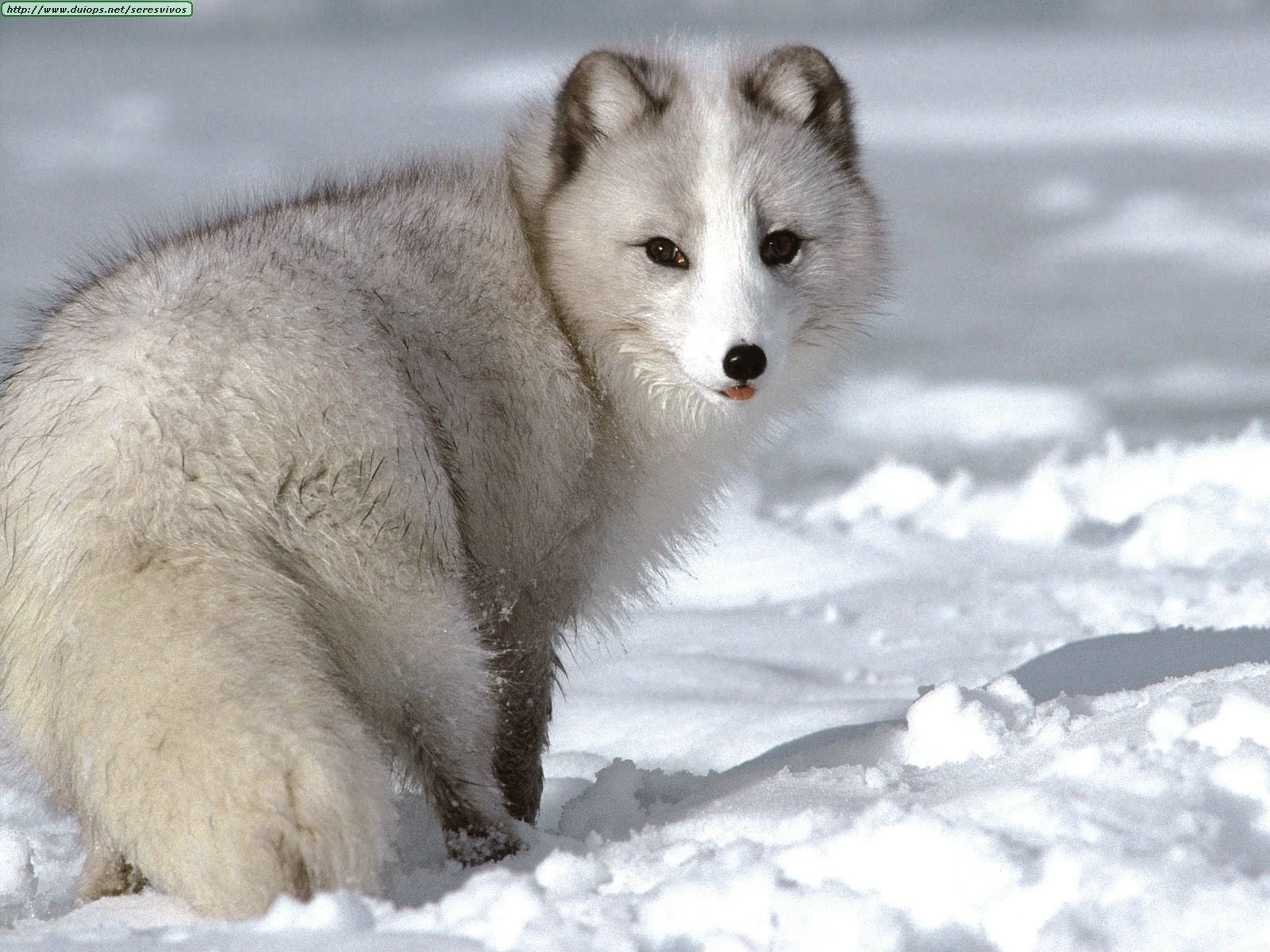 My Own Thoughts: Arctic Polar Fox Of Tundra