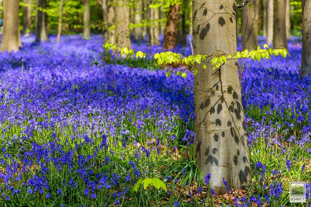 La foresta blu di Halle in Belgio da visitare in primavera