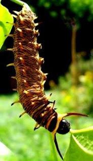 Foto de una oruga de mariposa colgada