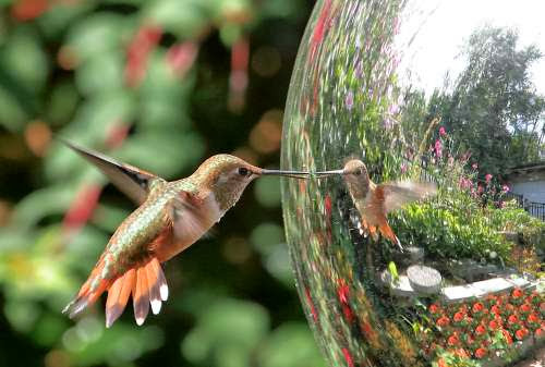 "Hummingbird: ""Who is she? Why is she imitating me!"""