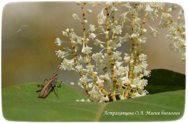 gorec-sahalinskij-opyliteli-nasekomye