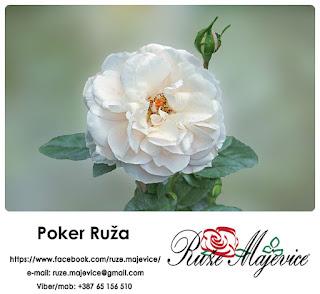 Romatična, nežna, mirisna  ~ Poker Ruža~