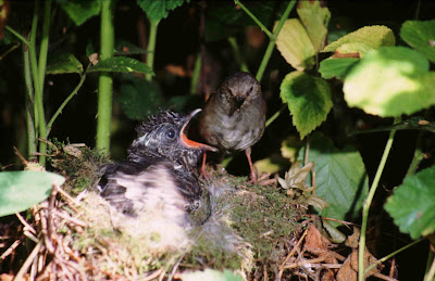 Cuckoo chick being fed by a Dunnock. Photo by Derek Belsey
