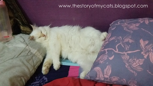 cat sleep on bed - kucing tidur di kasur